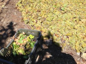 Muscat Grapes drying in the Sun